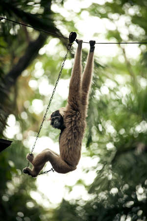 concluded: Monkey on a chain in a zoo
