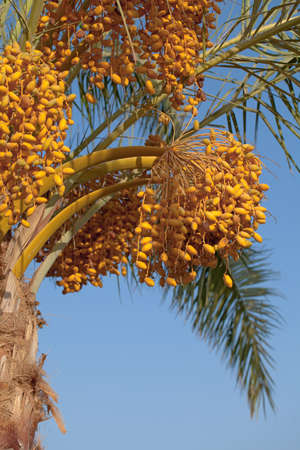 palm tree with dates against the blue sky photo