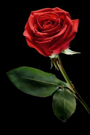 rosas negras: una rosa roja sobre un fondo negro