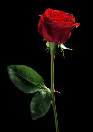 one red rose on a black background photo