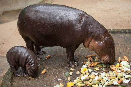 small pygmy hippopotamus and his mother