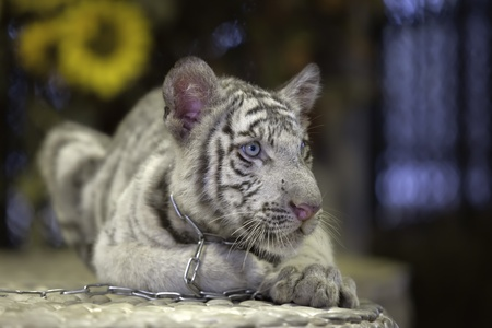 small white tiger lies on a stone  photo