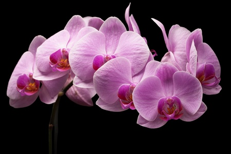 bouquet of magenta orchids is isolated on black background Stock Photo - 19865514