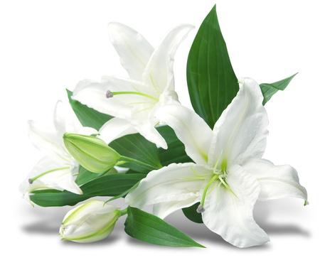 flores exoticas: ramo de lirios blancos está aislado en el fondo blanco