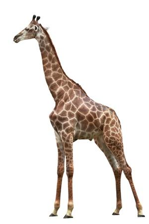 jirafa fondo blanco: una jirafa est� aislado en el fondo blanco Foto de archivo