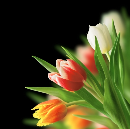 tulip bouquet on a black background Stock Photo - 19865451