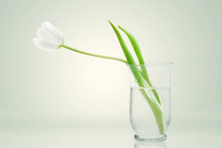 white tulip in a glass vase on background Stock Photo - 19865109