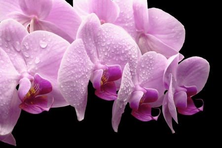 bouquet of magenta orchids is isolated on black background  Stock Photo - 20190480