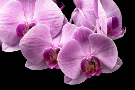 bouquet of magenta orchids is isolated on black background Stock Photo - 20196188