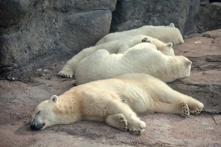 Four polar bears sleep on the ground photo