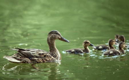 mother-duck and ducklings float in the lake photo