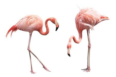 flamenco ave: Dos flamingo aislado en fondo blanco