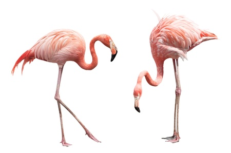 Two flamingo isolated on white background