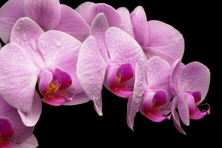bouquet of magenta orchids is isolated on black background Stock Photo - 21789771