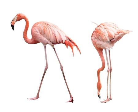 flamingo: Two flamingo isolated on white background