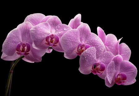 bouquet of magenta orchids with water drops on leaves. over black background Stock Photo - 22179530