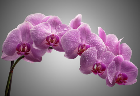 bouquet of magenta orchids with water drops on leaves. over gray background Stock Photo - 22131498