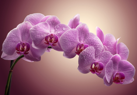 bouquet of magenta orchids with water drops on leaves. over color background Stock Photo - 22179037