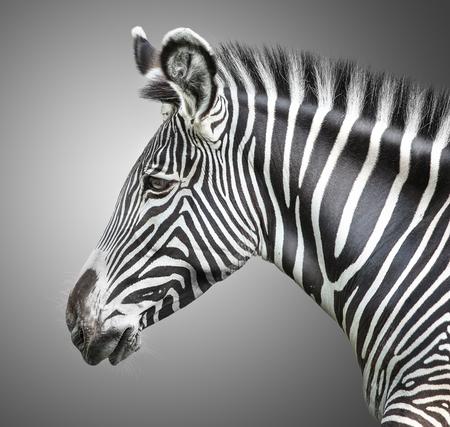 zebra head: portrait of zebra on background