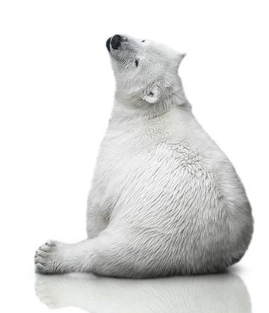 small polar bear cub sit on white background Фото со стока