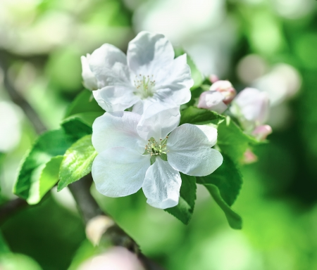 apple blossom: Flowering branch of an apple tree. sunny day