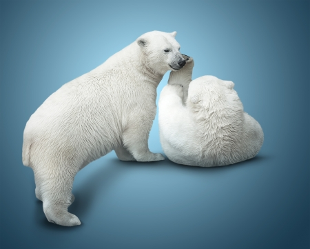 two polar bear cubs fight. over blue background photo