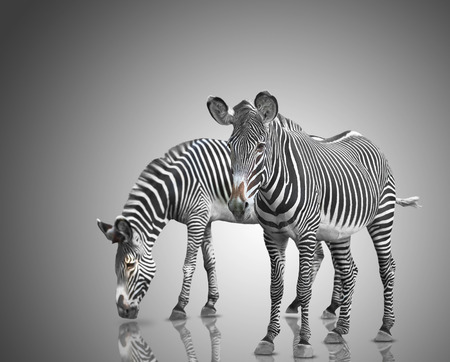 two zebras on a gray background photo