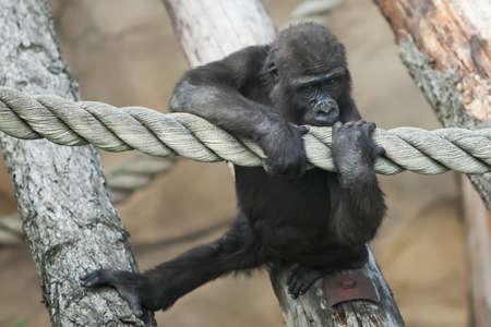 sadly: il cucciolo di gorilla sembra tristemente