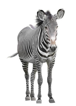 one zebra
