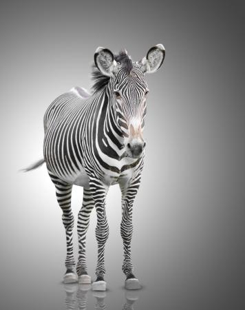 one zebra Фото со стока