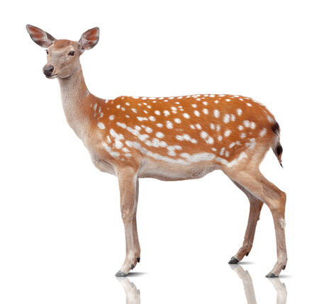 spotty: spotty deer is isolated on white Stock Photo