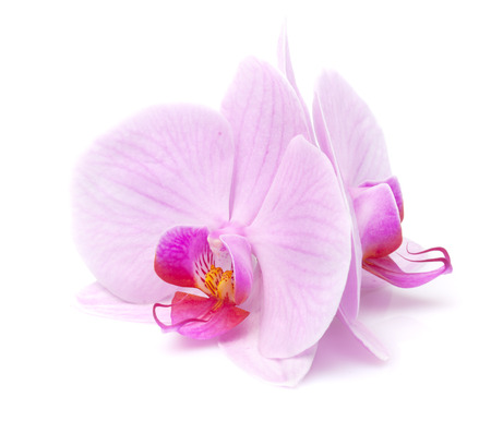 magenta orchid is isolated on white background