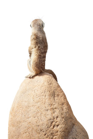 turn away: one cute little meerkat sits on a stone and looks at the back.  Stock Photo