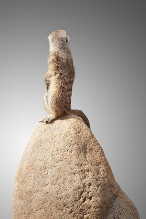 turn away: one cute little meerkat sits on a stone and looks at the back.