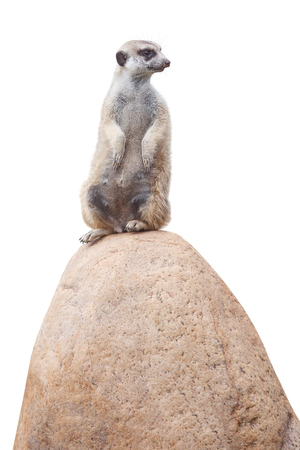 turn away: one cute little meerkat sits on a stone and looks at the back. isolated on white Stock Photo