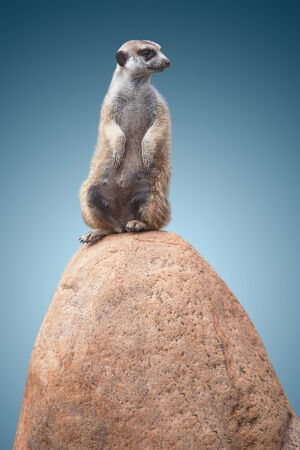 turn away: one cute little meerkat sits on a stone and looks at the back. on blue background Stock Photo