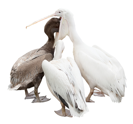 three pelicans are isolated on a white background.  adult feeding baby photo