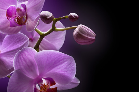 orchid: magenta orchid on black background