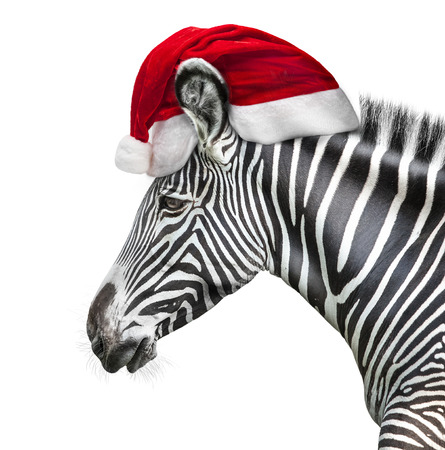 portrait of zebra with Santa hat is isolated on white background Фото со стока
