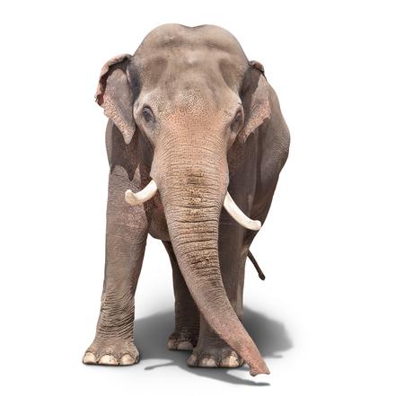 elefant: gro�er Elefant, der auf einem wei�en Hintergrund. isoliert