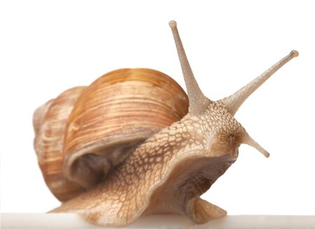 mucus: One big snail isolated on white Stock Photo