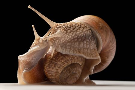 mucus: two big snails posing. isolated on black