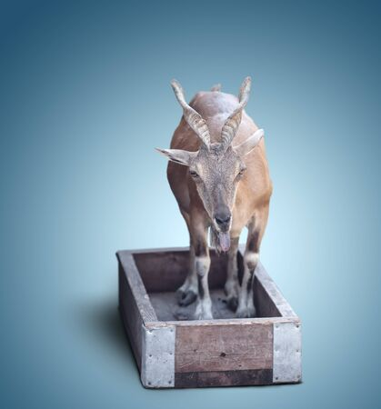 hoofed: young goat in a wooden box on blue background Stock Photo