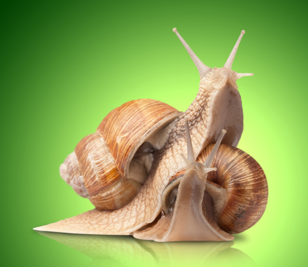 mucus: two big snails posing. on green background