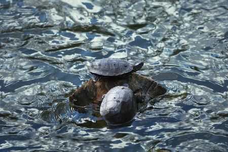 small reptiles: Two turtles sitting on a stone in water