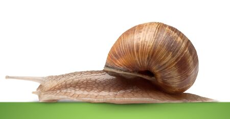 molluscs: One big snail isolated on white Stock Photo