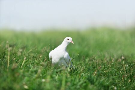 flattery: white pigeon walking in the tall green grass
