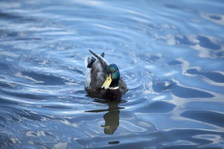 color image mallard duck: Birds. Amazing mallard duck swims in lake with blue water under sunlight. Duck bird swim in water. Duck bird under sunlight. Duck bird hunting. duck in park. mallard duck bird in water Beautiful duck