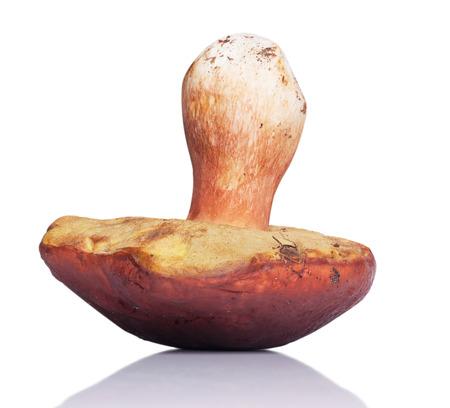 One white mushroom. isolated on white background