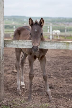 cute little brown colt. near a wooden fence, corral